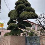 Picture of 9 foot tall tree trimmed like a Bonsai